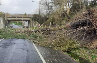 Arbore caida na estrada da Palma. Barallobre. 22 de decembro do 2019.