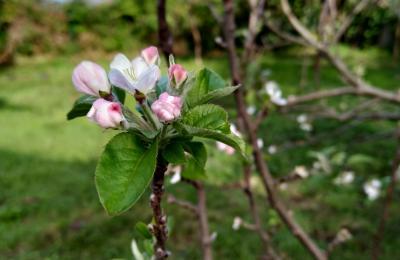 Mazás en flor