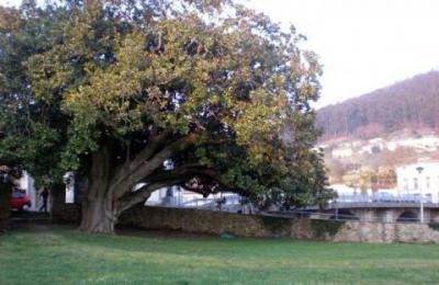 O magnolio de Xuvia conta con máis de douscentos anos